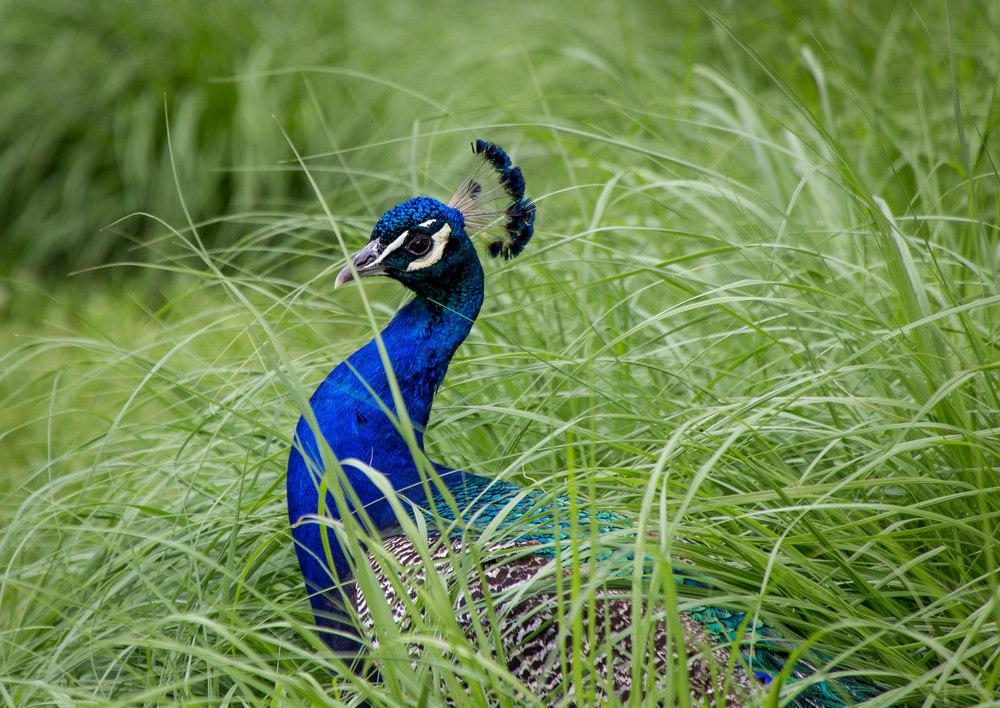 GFS Peacock.jpg