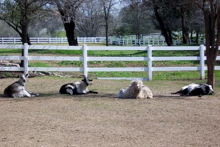 Goats 3-18-09.jpg