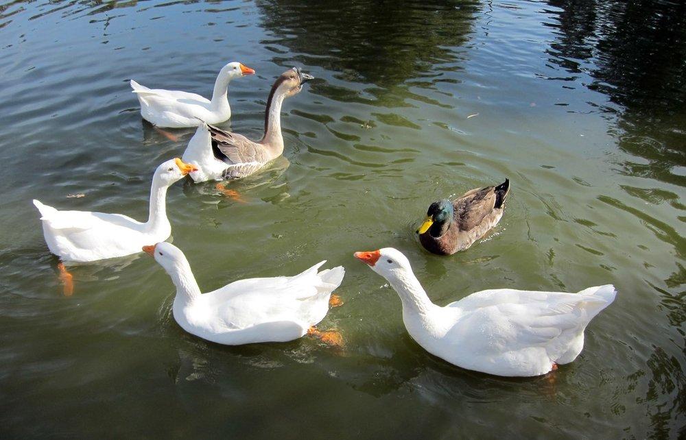 GeeseandDuck-1.jpg