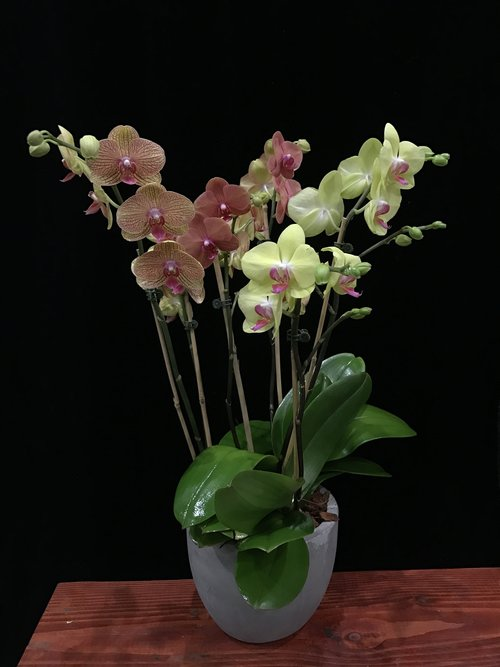 mix of orange yellow coral phalaenopsis orchid plants 6 spikes