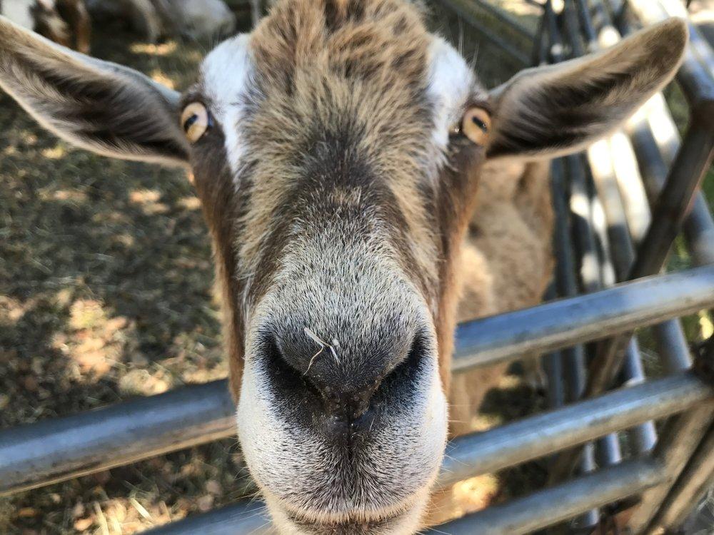 Goat Face.jpg