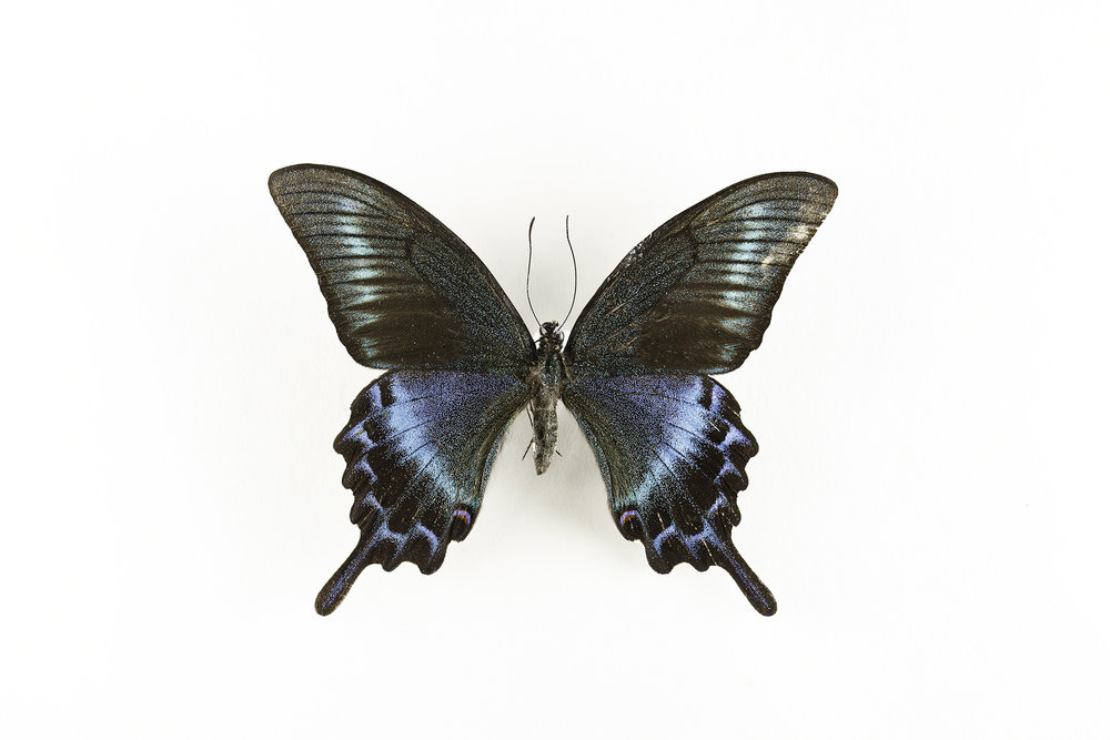 Papilio maackii -  Alpine Black Swallowtail butterfly   Found in Asia, Japan, China and South Korea.