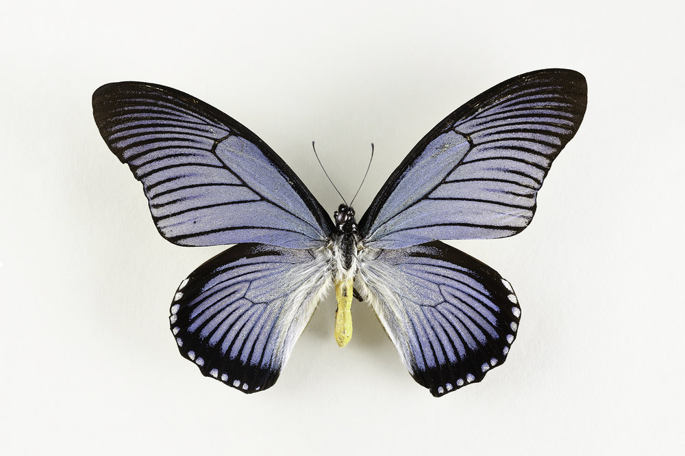 Papilio zalmoxis  -   G   i ant Blue Swallowtail    Dorsal (top) view    Found in Africa.