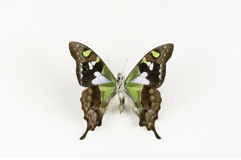 Graphium Weiskei  - P    urple Spotted Swallowtail     Ventral (underside) view
