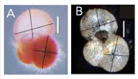 Figure 1.  Genetically identical  G. ruber  ( sensu stricto ) chromotypes  A)  pink and  B)  white.