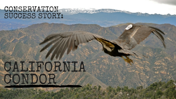 "an introduction to the history of the california condor The story of the california condor--an awe and the california condor: a saga of natural history ""introduction to the california condor covers the."