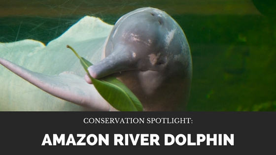 april-malmsteen-amazon-river-dolphin.jpg