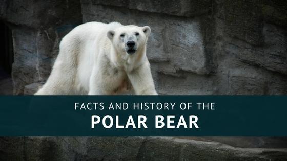 polar-bears-facts-history-april-malmsteen.jpg