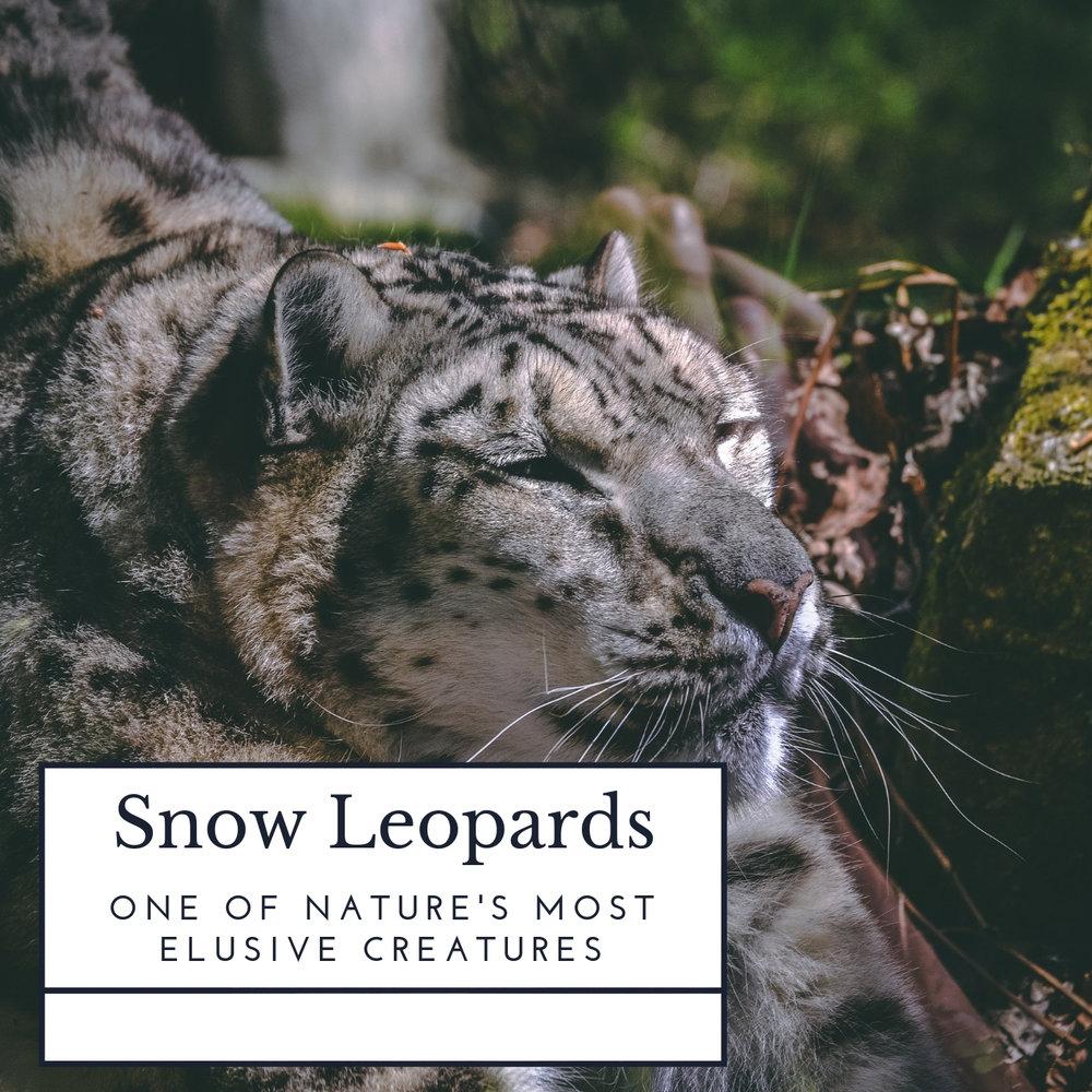 snow-leopards-april-malmsteen-foundation.jpg