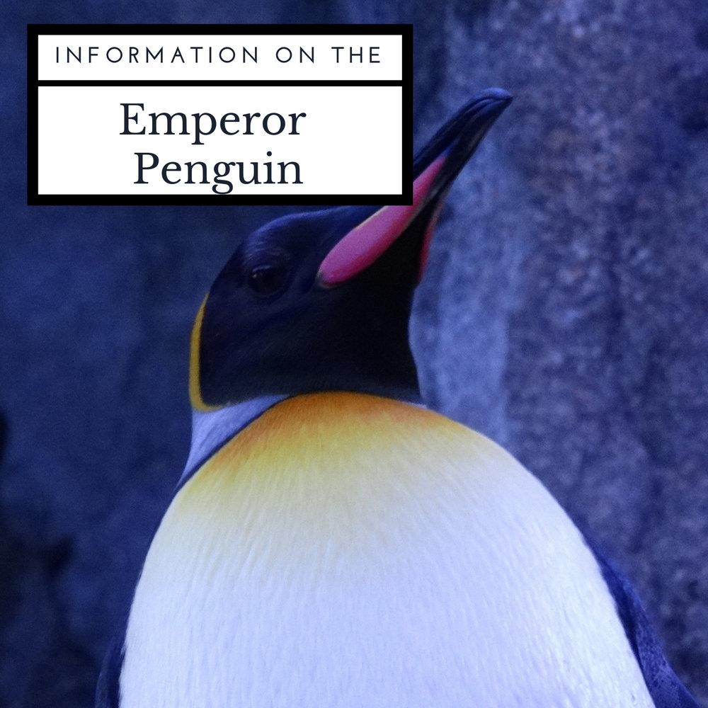 emperor-penguin-information-april-malmsteen-foundation.jpg