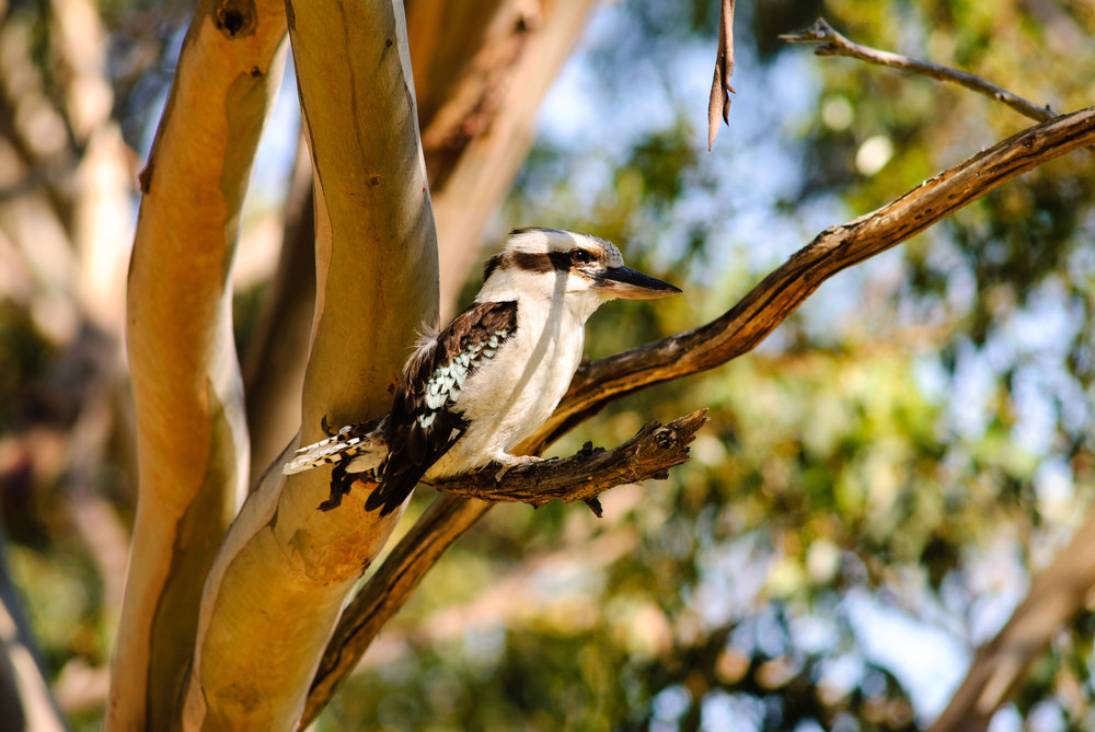 Kookaburra sits in afternoon light in Tasmania.