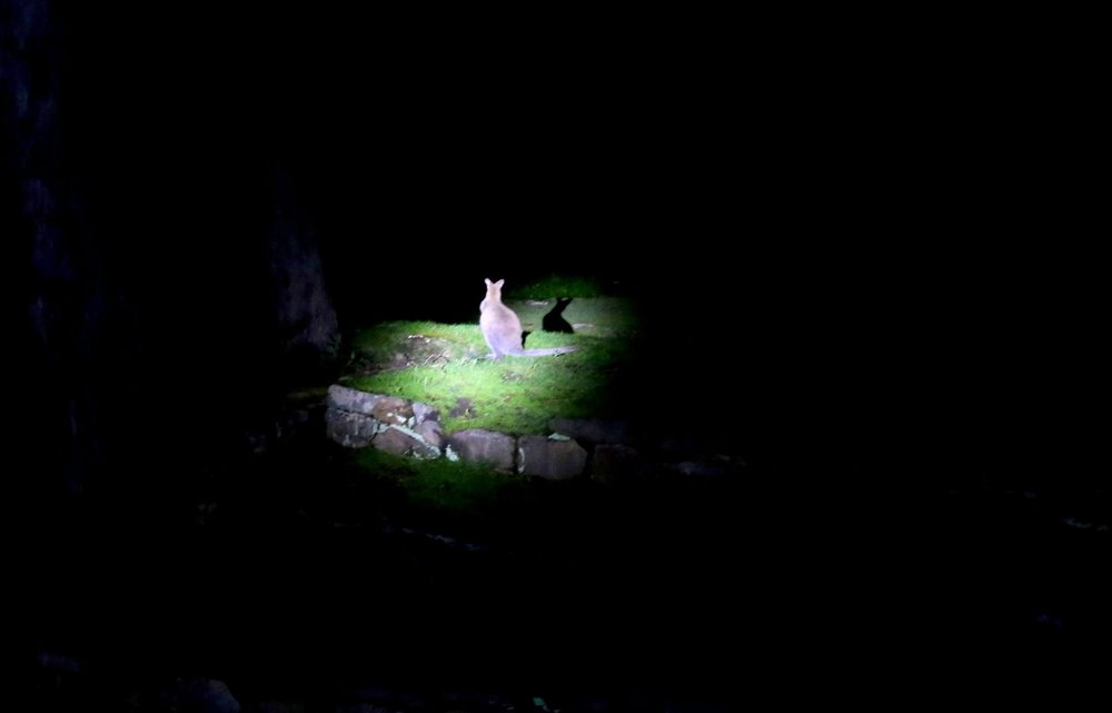 Wallaby in spotlight in Hobart, Tasmania.