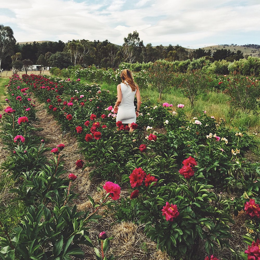 Wandering through peonies at Weston Farm