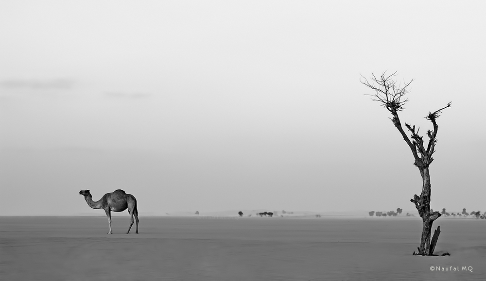 Lonely camel