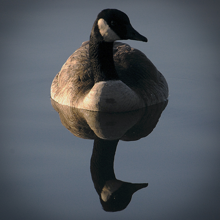 Nature - Canadian Geese Reflection.jpg