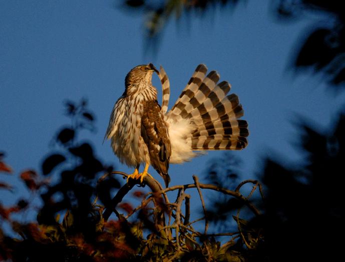 Nature - hawk grooming wide.JPG