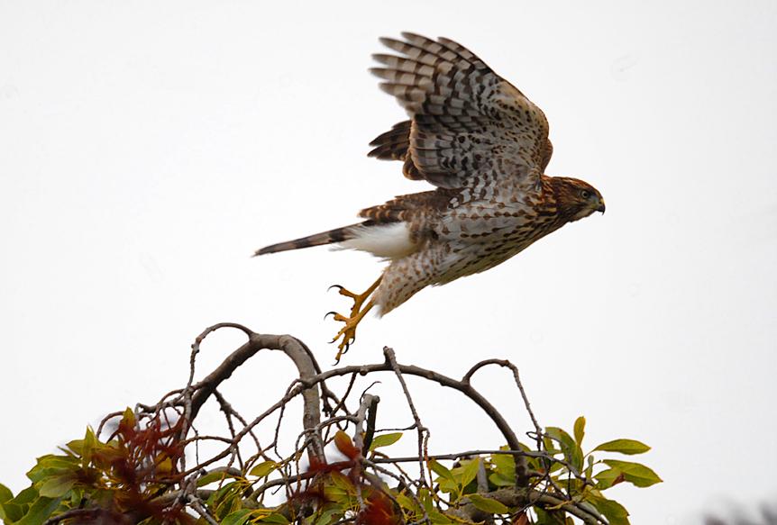 Nature - hawk taking off.jpg