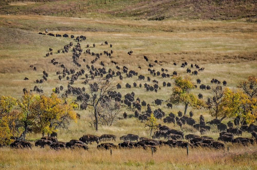 iStock-picture of buffalo.jpg