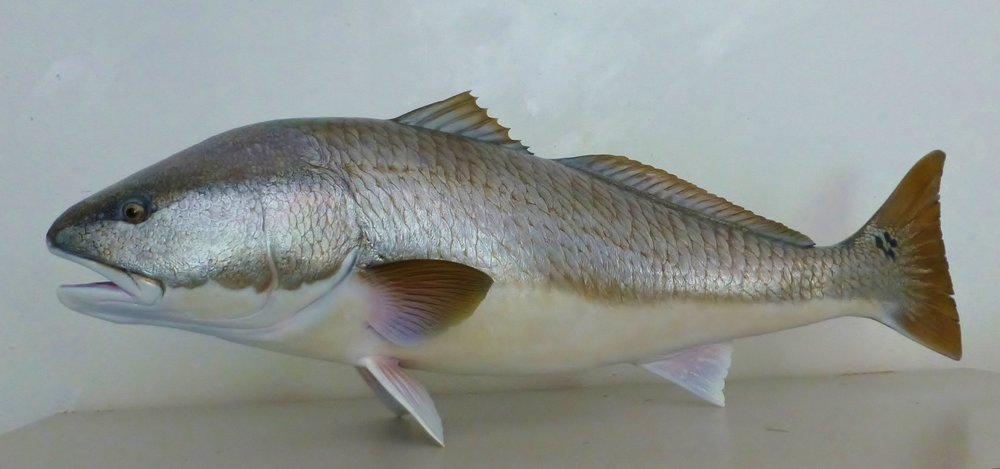 Redfish Red Drum fish replica Luke Filmer Blackwater Fish Replicas.JPG