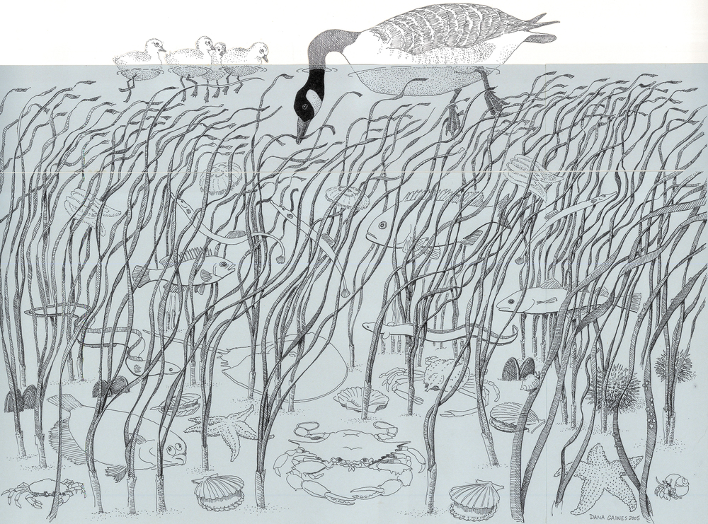 The Eelgrass Ecosystem, drawing by Dana Gaines.