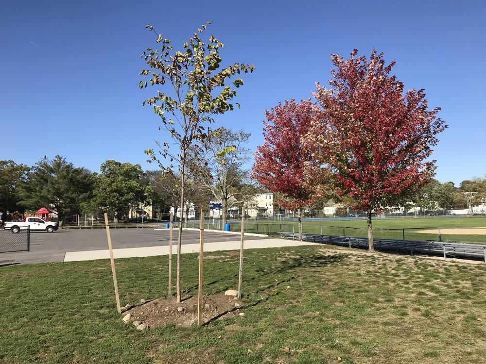 A newly planted sapling at a public park in Brockton.