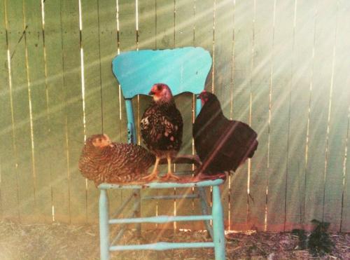 chick2crop.jpg