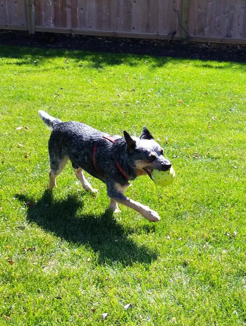 Argo the Deaf Austrailian Cattle Dog
