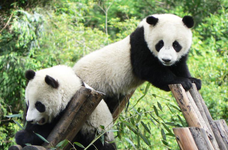 chengdu-pandas-thumbnail.jpg