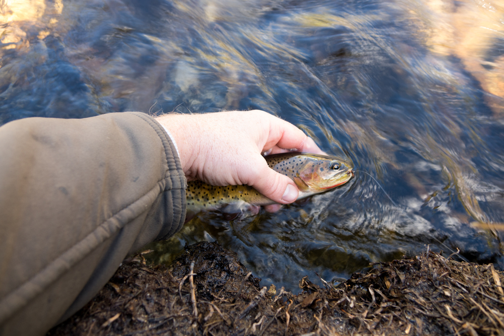 The Greenback Cuttthroat trout, which must be release by law, is seen here being photographed wet prior to its release.