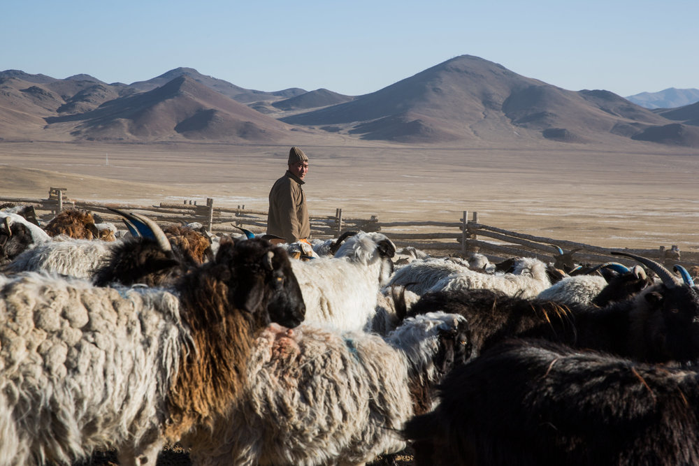 A Mongolian herder with his goats and sheep in Murun, Mongolia. (Credit: Taylor Weidman)