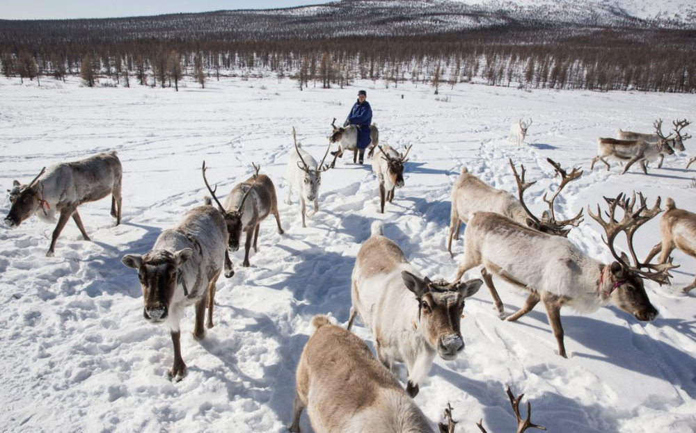 The Dukha, a small ethnic group who are nomadic reindeer reindeer herders, live in Khovsghol province, in northern Mongolia. (Credit: Taylor Weidman)