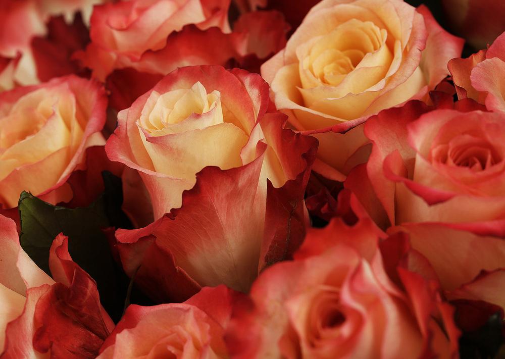 розы555.jpg