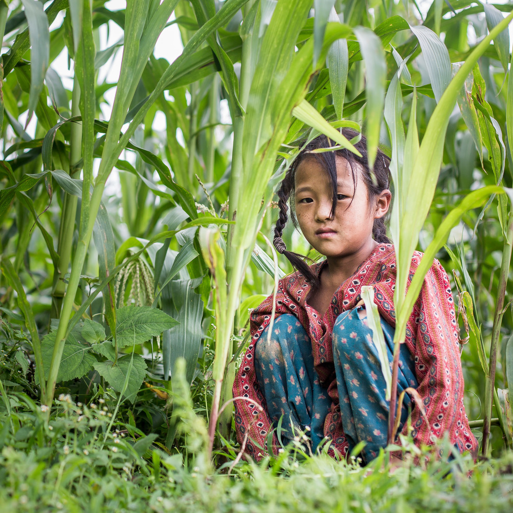 Girl collecting grass from the corn fields to feed the goats.
