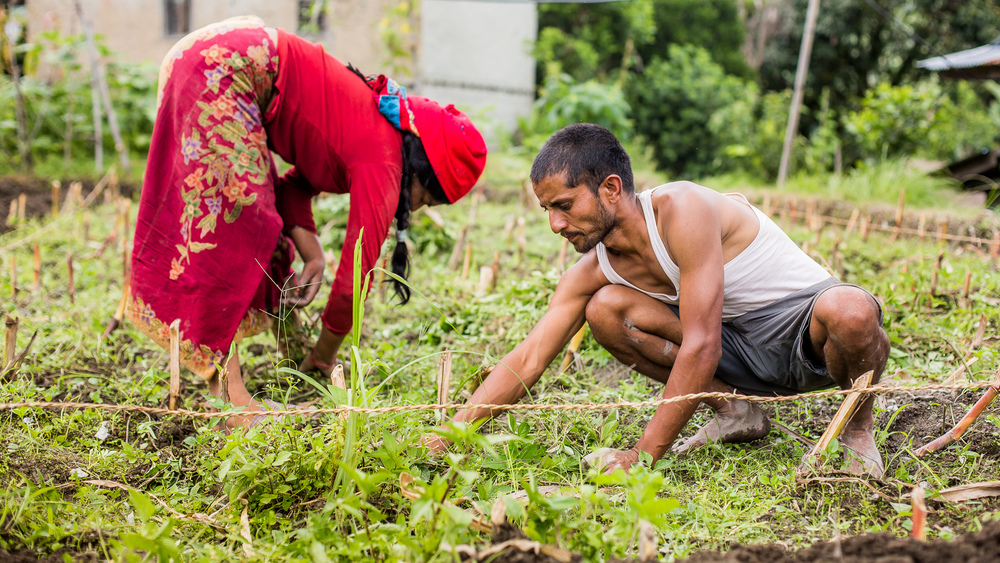 Rohit and his aunty taking the potatoes from the ground and preparing the land for the greenhouse.