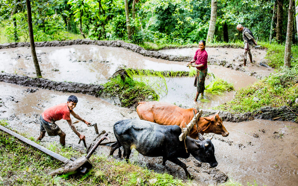 Preparing the land with the help of a team of oxen before planting rice.
