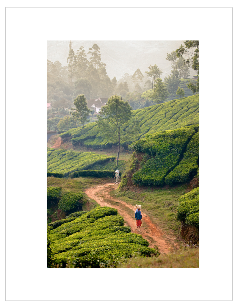Tea-Field-Munnar-India.jpg