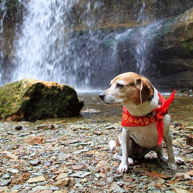 🐶🐕 Do you have a dog who is as adventurous as you?  Well, I'm sure lucky to have one! @jevito31 and I took #HaleyTheBeagle on a day trip to Wisconsin this past weekend for some #waterfallhunting and brewery tours, and she had an absolute blast! If you have a dog, I encourage you to take them out with you wherever and whenever you can...it's rewarding for everyone!  #beaglegang #beaglesdaily #beaglesofinstagram #dogsofyelp #dogsofinstagram #Beagle #ItsADogsLife #dogsofinstaworld #instabeagle #instapet #instagrambeagles #petstagram #adventuredog #adventurepup #GreetTheOutdoors #GoExploreWander #outdooradventure #modernoutdoorsman #natgeotravel #wearestillwild #adventureanywhere #getoutthere #mastershots #naturephoto #TheMidwestival #NaturalWonders #midwestisbest #outdoorlife