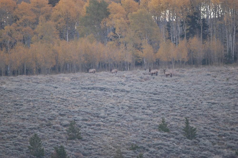 Elk 02.jpg
