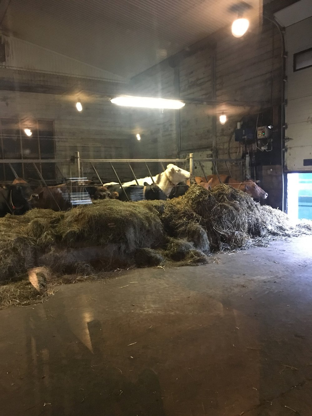 Cows in the barn - and oh, yes, that's where they sell the ice cream at Efstidalur dairy farm in Bláskógabyggð