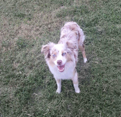 two y ranch toy aussie puppies for sale $500 two y ranch chihuahuas toy aussie puppies for sale near me toy australian shepherd puppies for sale chihuahua aussie mix for sale toy australian shepherd for sale toy australian shepherds for sale toy aussie puppies for sale chihuahua breeders in sc teacup chihuahua puppies for sale australian shepherd breeders near me blue merle y-not in texas brindle columbia sc blue north dakota kansas ks new york ny pennsylvania pa west virginia wv city tx