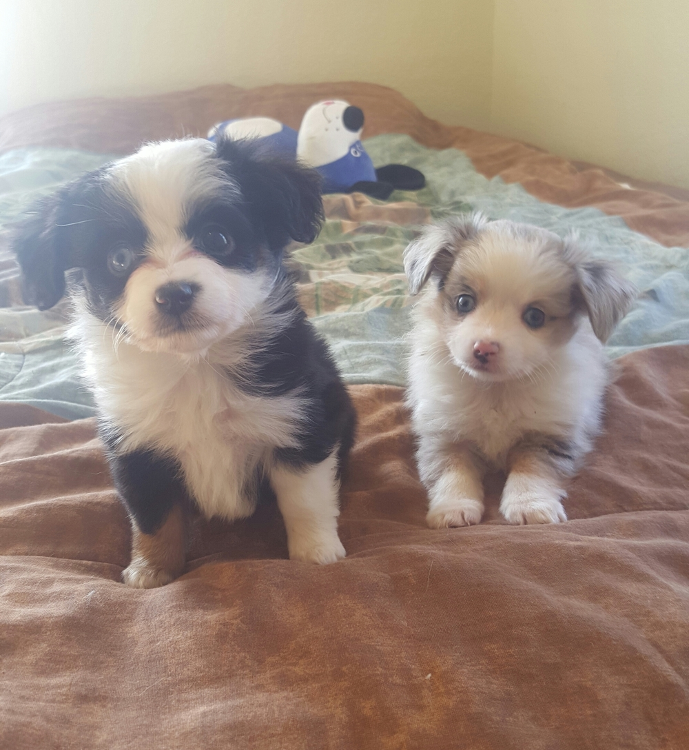 two y ranch toy aussie puppies for sale $500 australian shepherd aussies near me teacup chihuahua mini aussiedoodle breeders breeder south carolina blue merle y-not in texas brindle columbia sc blue north dakota kansas ks new york ny pennsylvania pa west virginia wv city tx