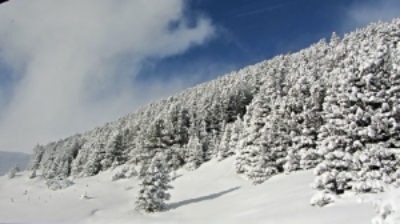 swiss snow trees .jpg