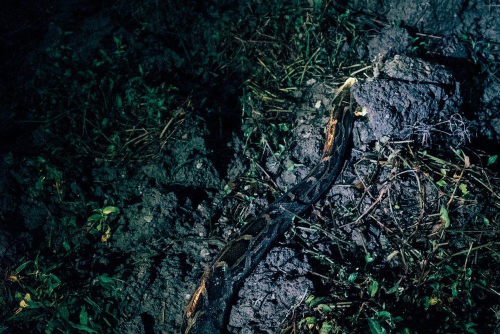 Python I, Florida City, 2014