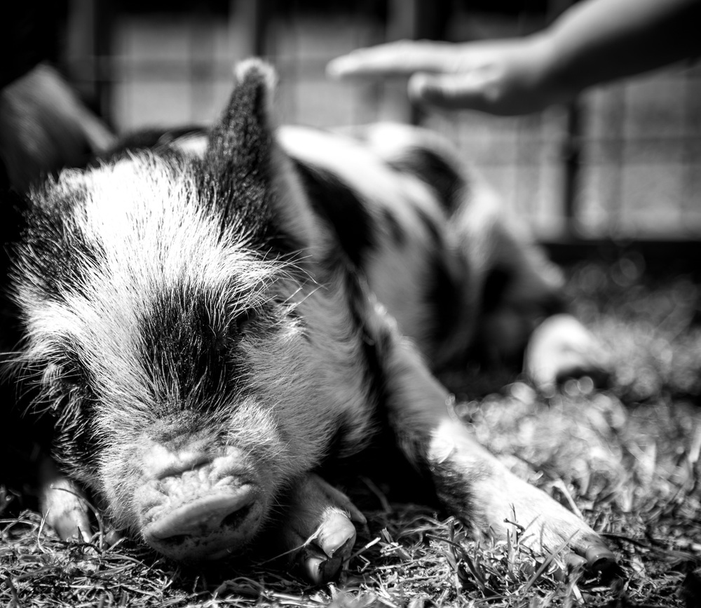 animal-farm-petting-zoo-pigs-geelong-events-the-party-girl-1.jpg