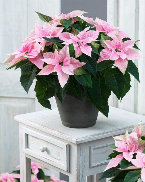 Princettia Pink ambiance pic 1.jpg