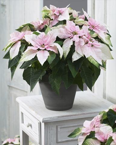 princettia soft pink.jpg
