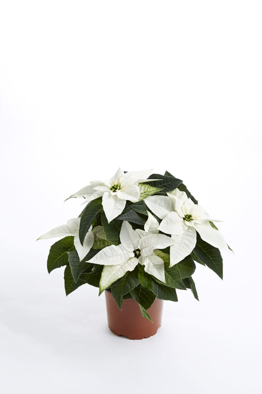 hvid 10 cm.jpg