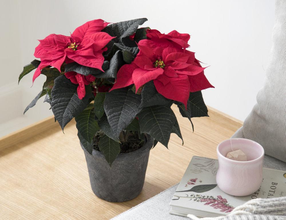 Poinsettia Q-ismas Bond 13cm