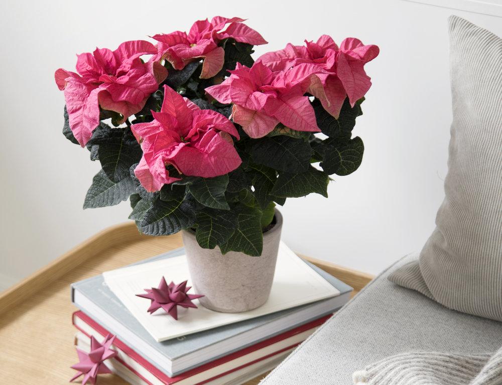 Poinsettia Q-ismas Crunch Pink 13cm