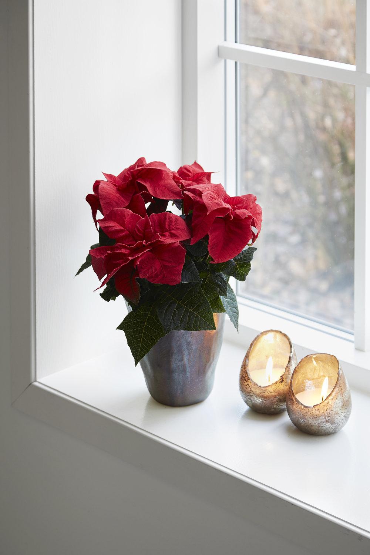 Poinsettia Q-ismas Crunch Red 13cm